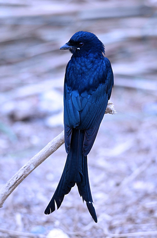 Black drongo tail. Foto: Maths Nilsson