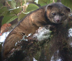 Olinguito. Foto: Mark Gurney [CC-BY-3.0 (http://creativecommons.org/licenses/by/3.0)], via Wikimedia Commons