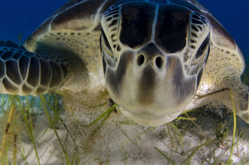 green turtle feeding on sea grass