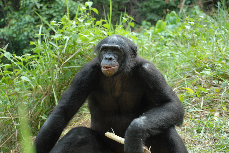 Bonobo. Foto: Pierre Fidenci via Wikimedia Commons