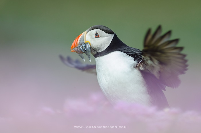 """Flapping Atlantic Puffin with Sandeels"". Foto: Johan Siggesson"
