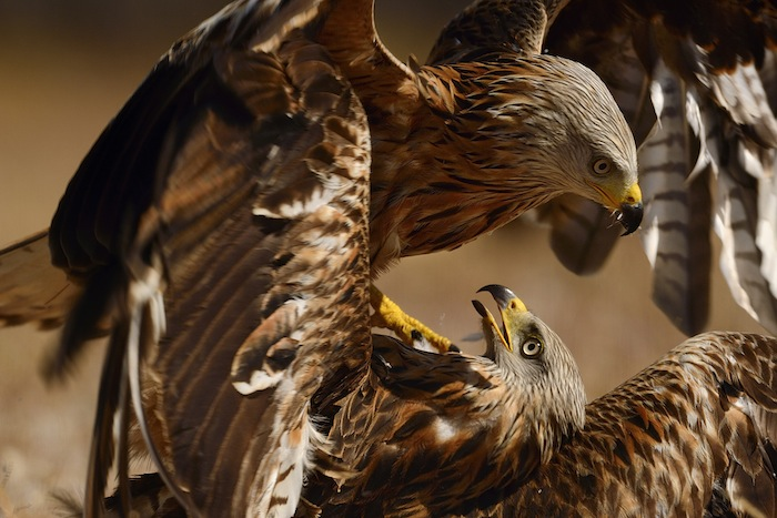 Wrestling and fighting red kites, Milvus milvus, at Campanarios reserve, Spain, Western Iberia