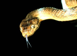 Brown tree snake (Boiga irregularis). Foto: PD USGov Interior NPS via Wikimedia Commons