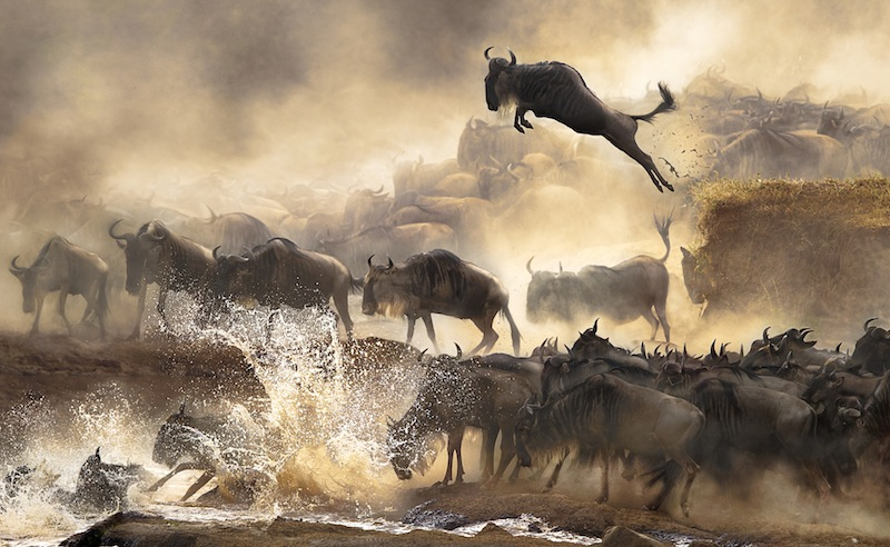 Gnuer som flyttar genom Kenya varje juli. Foto: Bonnie Cheung Nature&Wildlife 2014 Sony World Photography Awards