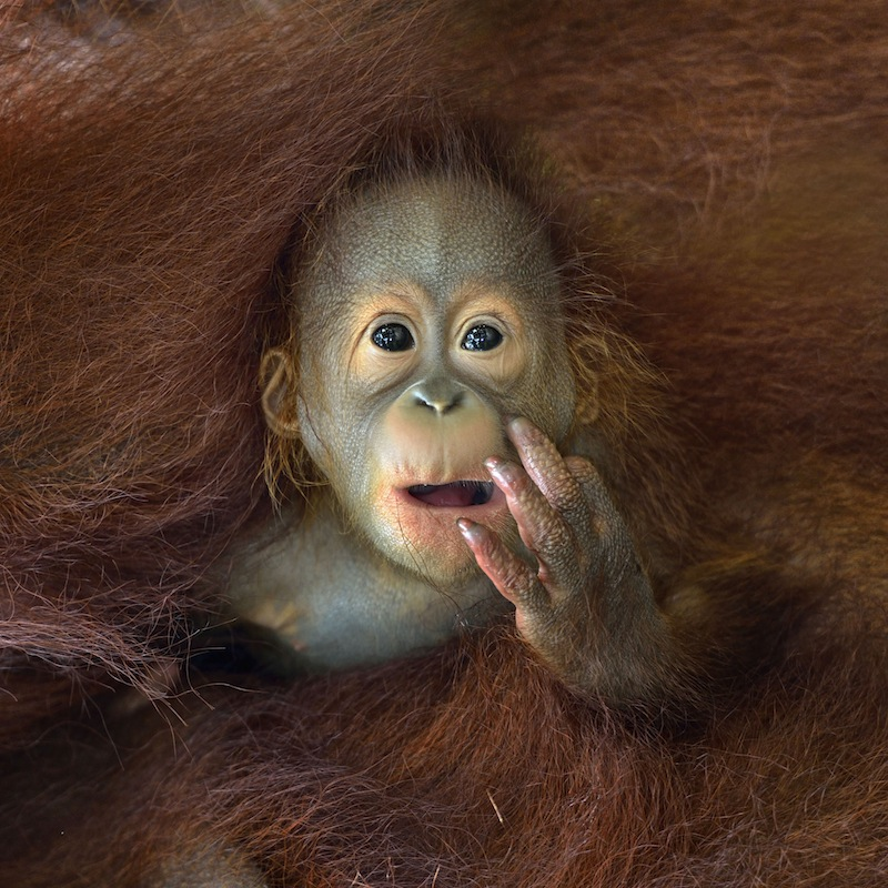 En ung orangutang som kramas av sin mor. Foto: Chin Boon Leng Nature&Wildlife 2014 Sony World Photography Awards
