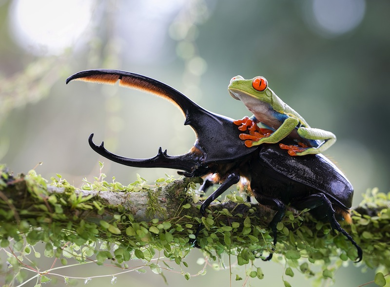The knight and his steed, Costa Rica. Foto: Nicolas Reusens Nature&Wildlife 2014 Sony World Photography Awards