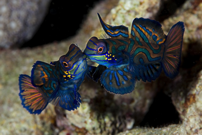 Fan Favorite<br /><br /> Pietro Cremone, Italy<br /><br /> Mating Mandarin dragonets (Synchiropus splendidus) photographed in Puerto Galera, Philippines.