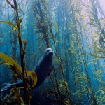 Best Overall Kyle McBurnie, California Harbor seal (Phoca vitulina) in a kelp forest at Cortes bank, near San Diego, CA.