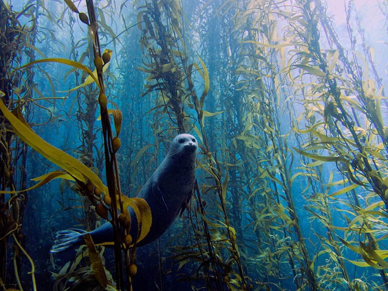 Best Overall<br /><br /> Kyle McBurnie, California<br /><br /> Harbor seal (Phoca vitulina) in a kelp forest at Cortes bank, near San Diego, CA.