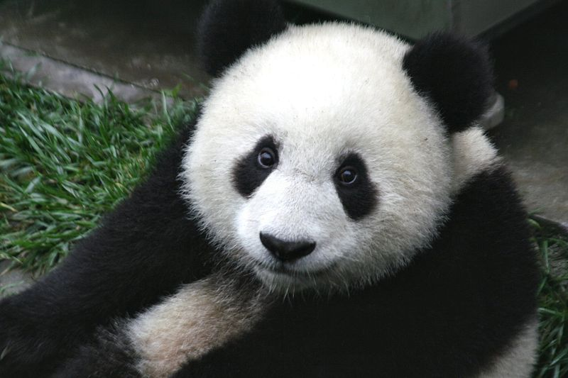 Panda. Foto: Sheilalau via Commons., Public Domain, https://commons.wikimedia.org/w/index.php?curid=2266960