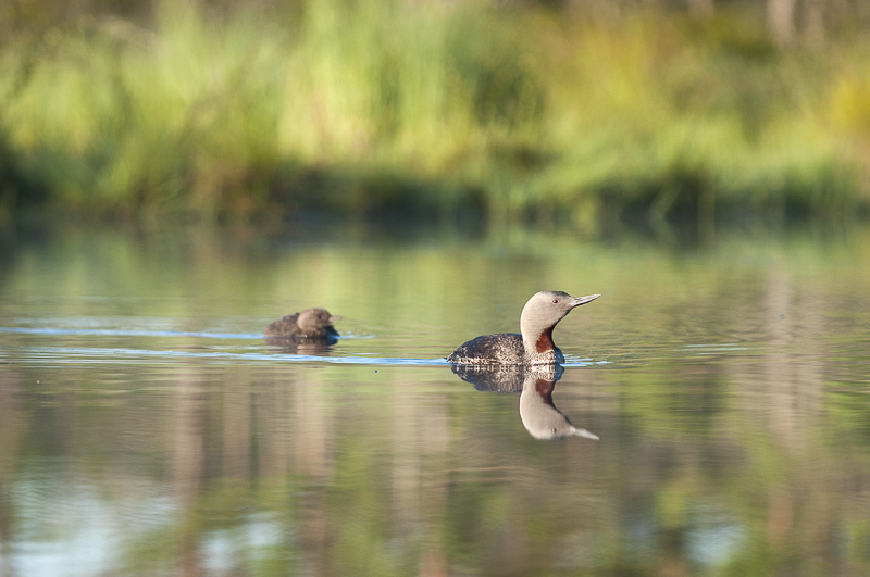Red-throated Loon with the kids on Knuthöjdsmossen. Photo: Cecilia Rudengren