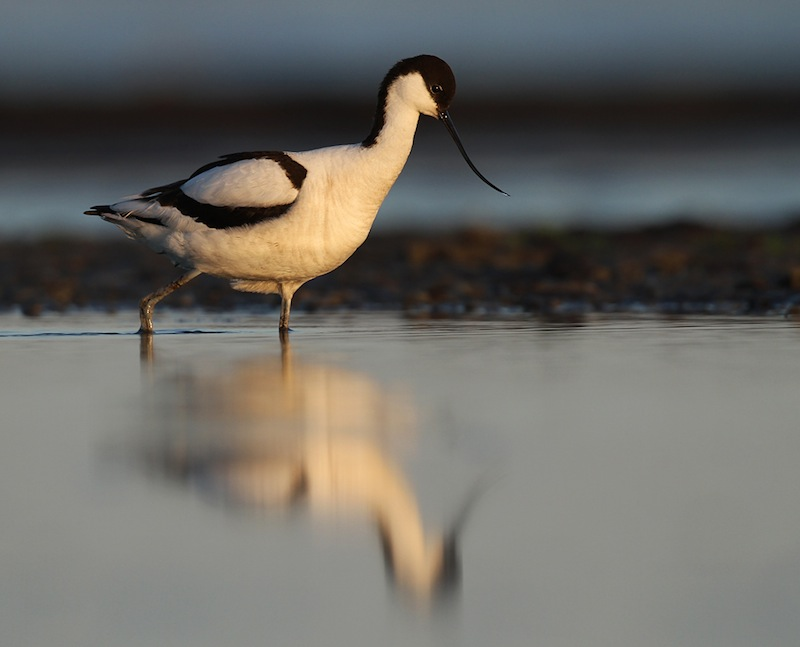 Avocet, one of the species that can be seen wading along the beaches in late summer. Photo: John Rydstrom