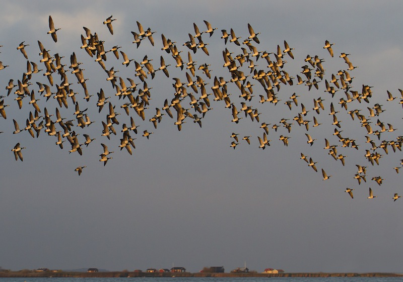 Flock of geese itkindade. Photo: John Rydstrom