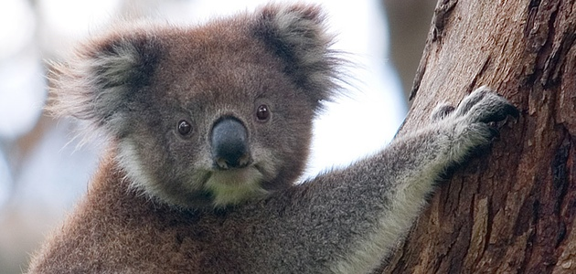Koala. Foto: Dliff via Wikimedia (Creative commons) http://creativecommons.org/licenses/by-sa/3.0