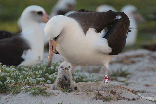 Albatrossen Wisdoms partner och ungen Kükiri. Foto: USFWS via Flickr https://www.flickr.com/photos/usfwspacific/