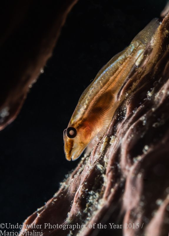 MOST PROMISING BRITISH UNDERWATER PHOTOGRAPHER (2015): 'Glowing Goby' - Mario Vitalini