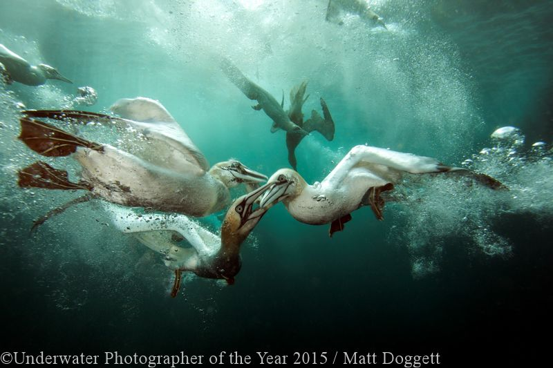 BRITISH UNDERWATER PHOTOGRAPHER OF THE YEAR (2015): 'Gannets Feast' - Matt Doggett