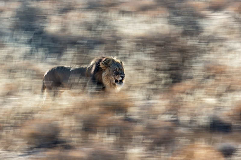 WINNER | mammalsJan van der Greef - King of Kalahari Lion with typical darke mane in the Kalahari claims his territory .