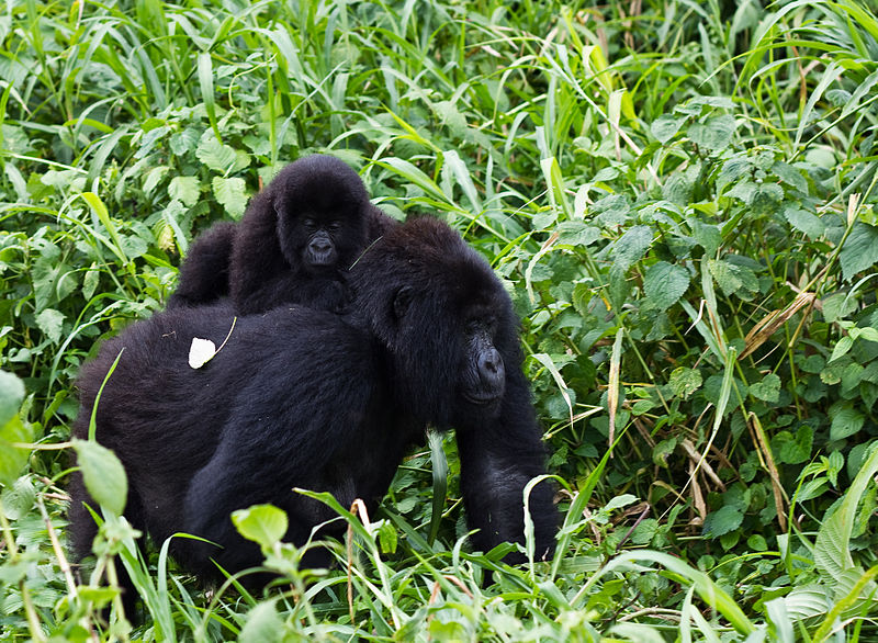 Gorilla i Virungas nationalpark. Foto: Cai Tjeenk Willink via Wikimedia licenserad under CC BY-SA 3.0 via Wikimedia Commons - http://commons.wikimedia.org/wiki/File:Virunga_Mountain_Gorilla_1.jpg#/media/File:Virunga_Mountain_Gorilla_1.jpg