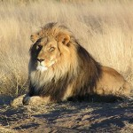 Lejon. Foto: Kevin Pluck - Flickr: The King.. Licensierad under CC BY 2.0 via Wikimedia Commons - http://commons.wikimedia.org/wiki/File:Lion_waiting_in_Namibia.jpg#/media/File:Lion_waiting_in_Namibia.jpg