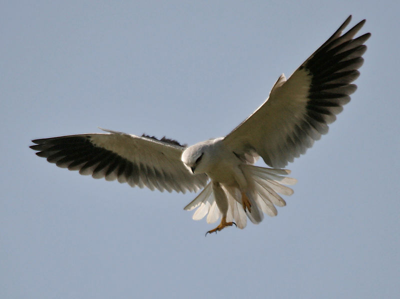 Svartvingad glada. Foto:  J.M.Garg - Eget arbete. Licensierad under GFDL via Wikimedia Commons - http://commons.wikimedia.org/wiki/File:Black-shouldered_Kite_(Elanus_caeruleus)_in_Hyderabad_W_IMG_4418.jpg#/media/File:Black-shouldered_Kite_(Elanus_caeruleus)_in_Hyderabad_W_IMG_4418.jpg