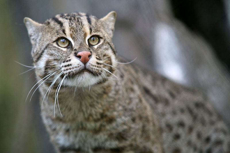 Fiskarkatt (Prionailurus viverrinus). Foto: Cliff via Flickr. Licensierad under CC BY 2.0 via Commons https://commons.wikimedia.org/wiki/File:Fishing_Cat_(Prionailurus_viverrinus)_3.jpg#/media/File:Fishing_Cat_(Prionailurus_viverrinus)_3.jpg