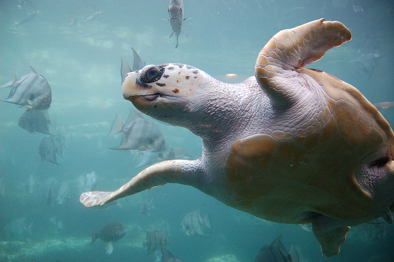 Havssköldpaddan oäkta karettsköldpadda. Foto: ukanda via Flickr. Licensierad under CC BY 2.0 via Commons - https://commons.wikimedia.org/wiki/File:Loggerhead_sea_turtle.jpg#/media/File:Loggerhead_sea_turtle.jpg