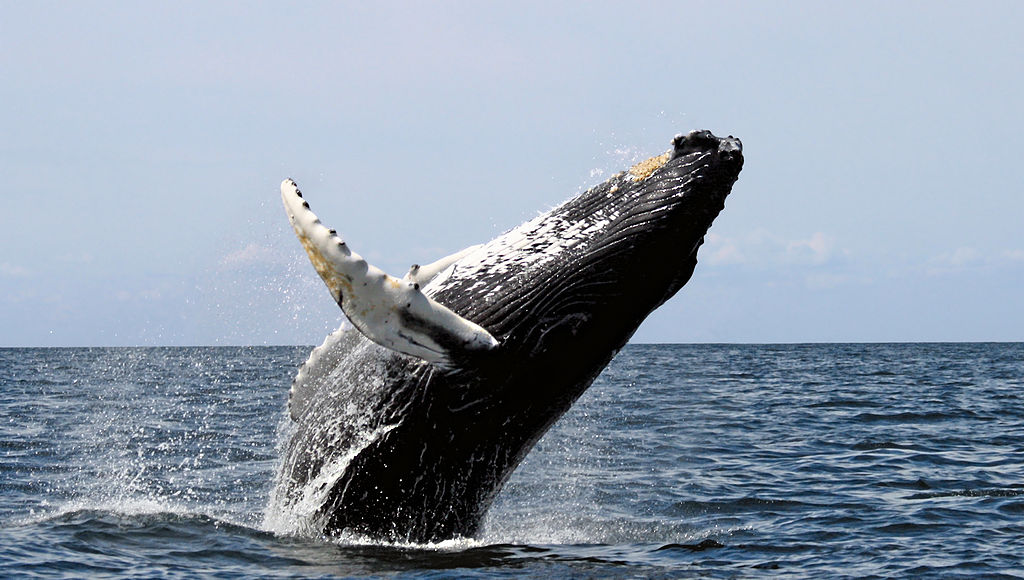 Knölval. Foto: Whit Welles Wwelles14. Licensierad under CC BY 3.0 via Commons - https://commons.wikimedia.org/wiki/File:Humpback_stellwagen_edit.jpg#/media/File:Humpback_stellwagen_edit.jpg