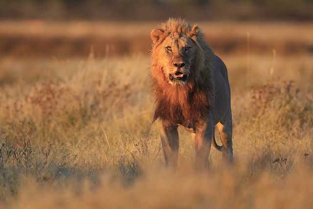 Lejon i Namibia. Foto: Yathin S Krishnappa. Licensierad under CC BY-SA 3.0 via Wikimedia Commons. https://commons.wikimedia.org/wiki/File:2012_Lion_Gemsbokvlakte.jpg#/media/File:2012_Lion_Gemsbokvlakte.jpg