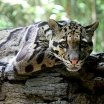 Trädleopard. Foto: Ltshears. Licensierad under CC BY-SA 3.0 via Wikimedia Commons. https://commons.wikimedia.org/wiki/File:CloudedLeopard2.jpg#/media/File:CloudedLeopard2.jpg