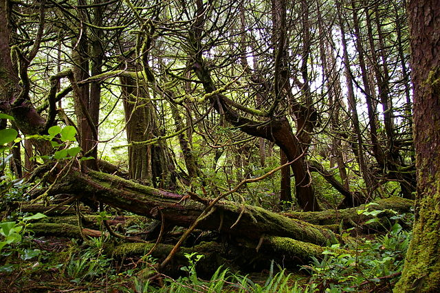Notkacypress. Foto: Tim Gage. Licensierad under CC BY-SA 2.0 via Wikimedia Commons - https://commons.wikimedia.org/wiki/File:Cupressus_nootkatensis_Skuna_Bay_Nootka_Island.jpg#/media/File:Cupressus_nootkatensis_Skuna_Bay_Nootka_Island.jpg