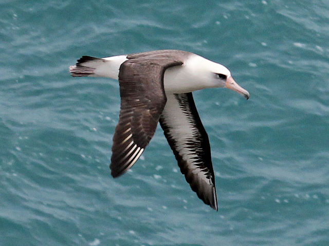 Laysanalbatross. Foto: DickDaniels. Licensierad under CC BY-SA 3.0 via Commons - https://commons.wikimedia.org/wiki/File:Laysan_Albatross_RWD2.jpg#/media/File:Laysan_Albatross_RWD2.jpg