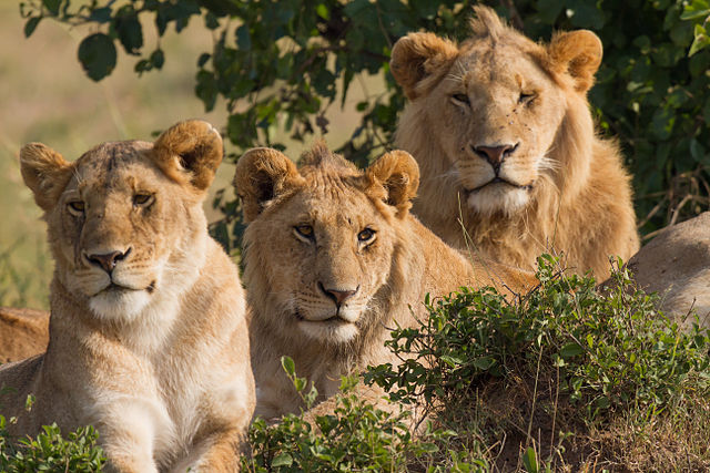 Lejonfamilj. Foto: Benh LIEU SONG. Licensierad under CC BY-SA 3.0 via Commons. https://commons.wikimedia.org/wiki/File:Lions_Family_Portrait_Masai_Mara.jpg#/media/File:Lions_Family_Portrait_Masai_Mara.jpg