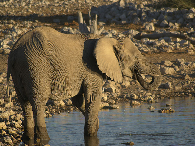 Savannelefant. Foto: Hans Hillewaert. Licensierad under CC BY-SA 3.0 via Commons - https://commons.wikimedia.org/wiki/File:Loxodonta_africana_-_drinking.jpg#/media/File:Loxodonta_africana_-_drinking.jpg