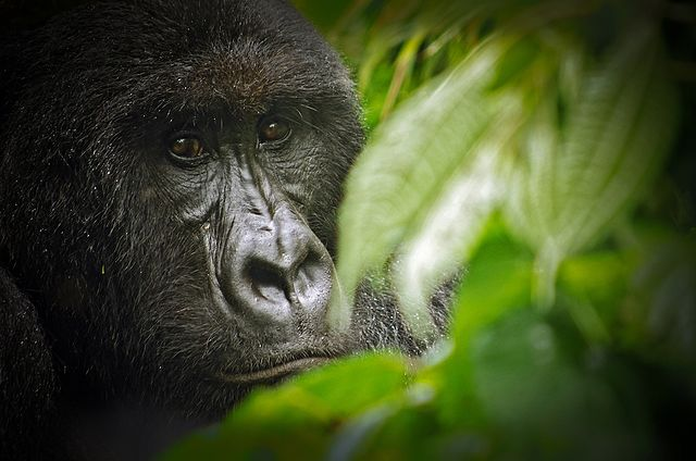 Gorilla i nationalparken Virunga. Foto: LuAnne Cadd. Licensierad under CC BY-SA 3.0 via Commons. https://commons.wikimedia.org/wiki/File:Virunga_National_Park_Gorilla.jpg#/media/File:Virunga_National_Park_Gorilla.jpg