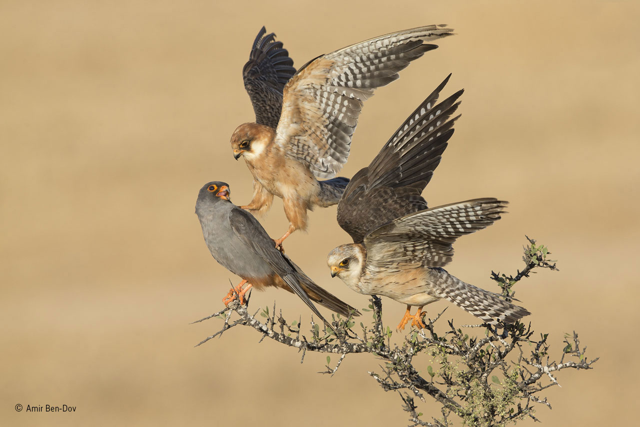 "Fåglar: ""The company of three"". Foto: Amir Ben-Dov, Israel.""Red-footed falcons are social birds, migrating in large flocks from central and eastern Europe to southern and southwestern Africa. The closest relationships seem to be pairs or parents with first-year chicks, but otherwise, they maintain a degree of personal space. But these three red-footed falcons were different. Amir spent six days watching them on agricultural land near Beit Shemesh, Israel, where their flock was resting on autumn migration, refuelling on insects. What fascinated him was the fact that two subadult females and the full‐ grown, slate-grey male were spending most of their time together, the two females often in close physical contact, preening and touching each other. They would also hunt together from a post rather than using the more normal hovering technique. As so often happens in photography, it was on the last day in the last hour before he had to return home when the magic happened. The sun came out, the three birds perched together, and a subtle interaction took place: one female nudged the male with her talon as she flew up to make space on the branch for the other female. Exactly what the relationship was between the three birds remains a mystery."""