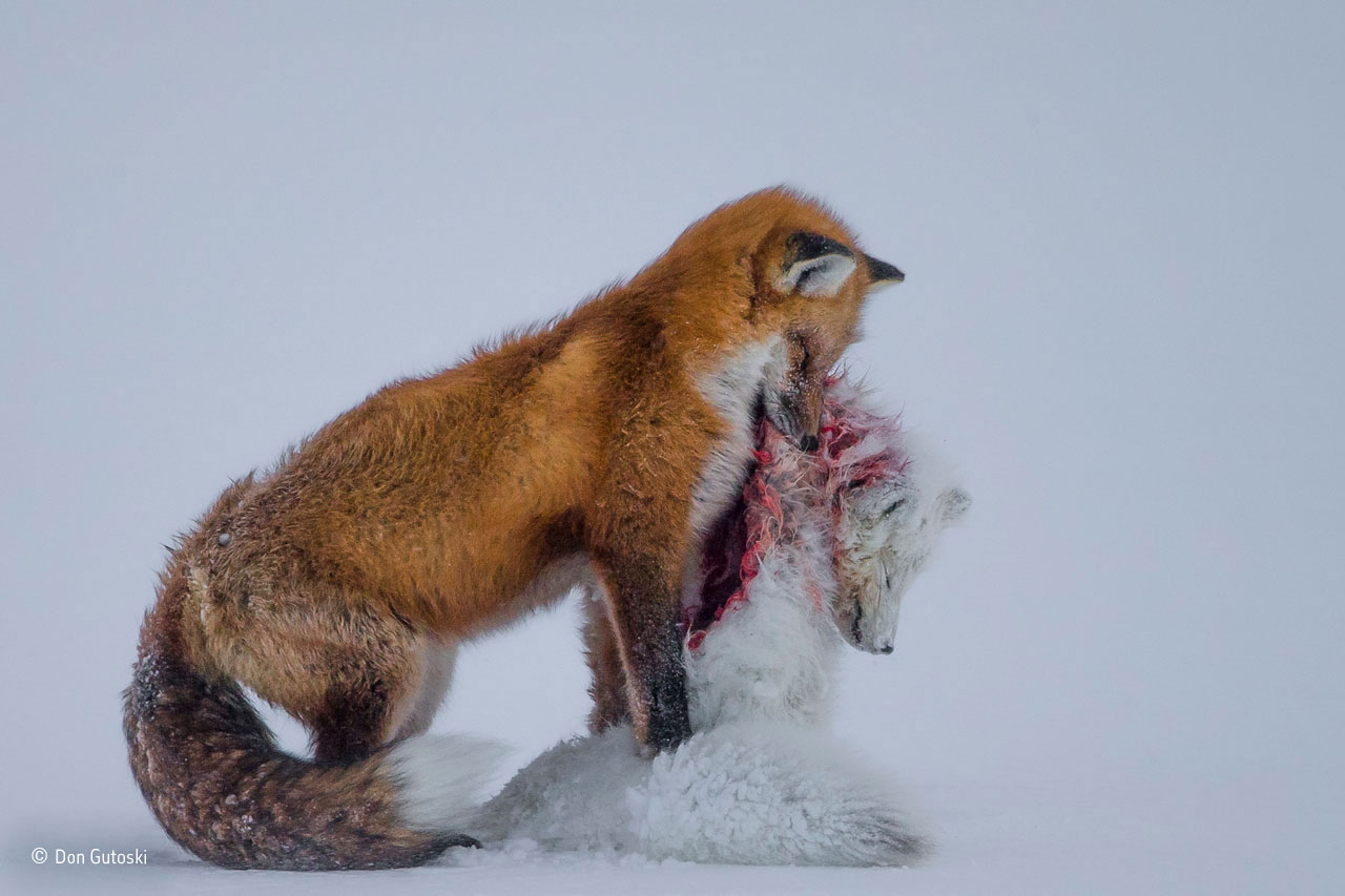 "Wildlife Photographer of the Year: ""A tale of two foxes"". Foto: Don Gutoski, Kanada""It's a frozen moment revealing a surprising behaviour, witnessed in Wapusk National Park, on Hudson Bay, Canada, in early winter. Red foxes don't actively hunt Arctic foxes, but where the ranges of two predators overlap, there can be conflict. In this case, it led to a deadly attack. Though the light was poor, the snow-covered tundra provided the backdrop for the moment that the red fox paused with the smaller fox in its mouth in a grim pose."""