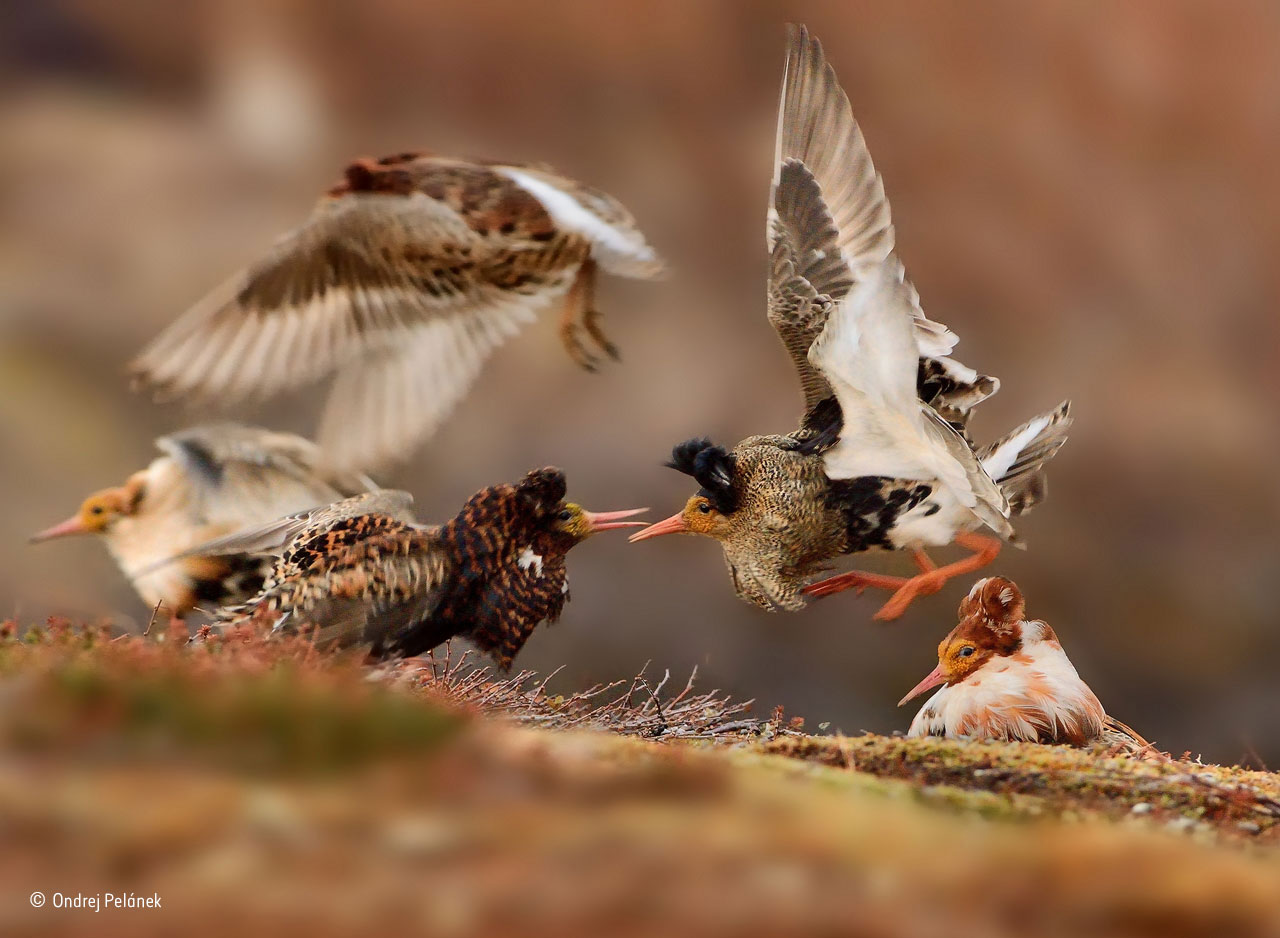 "Young Wildlife Photographer of the Year: ""Ruffs on display"". Foto: Ondrej Pelánek, Tjeckien. ""On their traditional lek ground – an area of tundra on Norway's Varanger Peninsula – territorial male ruffs in full breeding plumage show off their ruffs to each other, proclaiming ownership of their courtship areas. Ondrej took his winning shot as one male leapt up, warning off his neighbours. Ruffs are unusual in that breeding males behave according to their plumage colours. Those with dark plumage perform on territories. Ones with white ruffs, known as satellite males (far left and far right), don't hold territories but display on the outside of the lek or form uneasy alliances with territory-holding males, helping them to entice females in the hope of grabbing a sneaky mating if the opportunity arises. A third type of 'sneaky male' disguises itself as a female."""