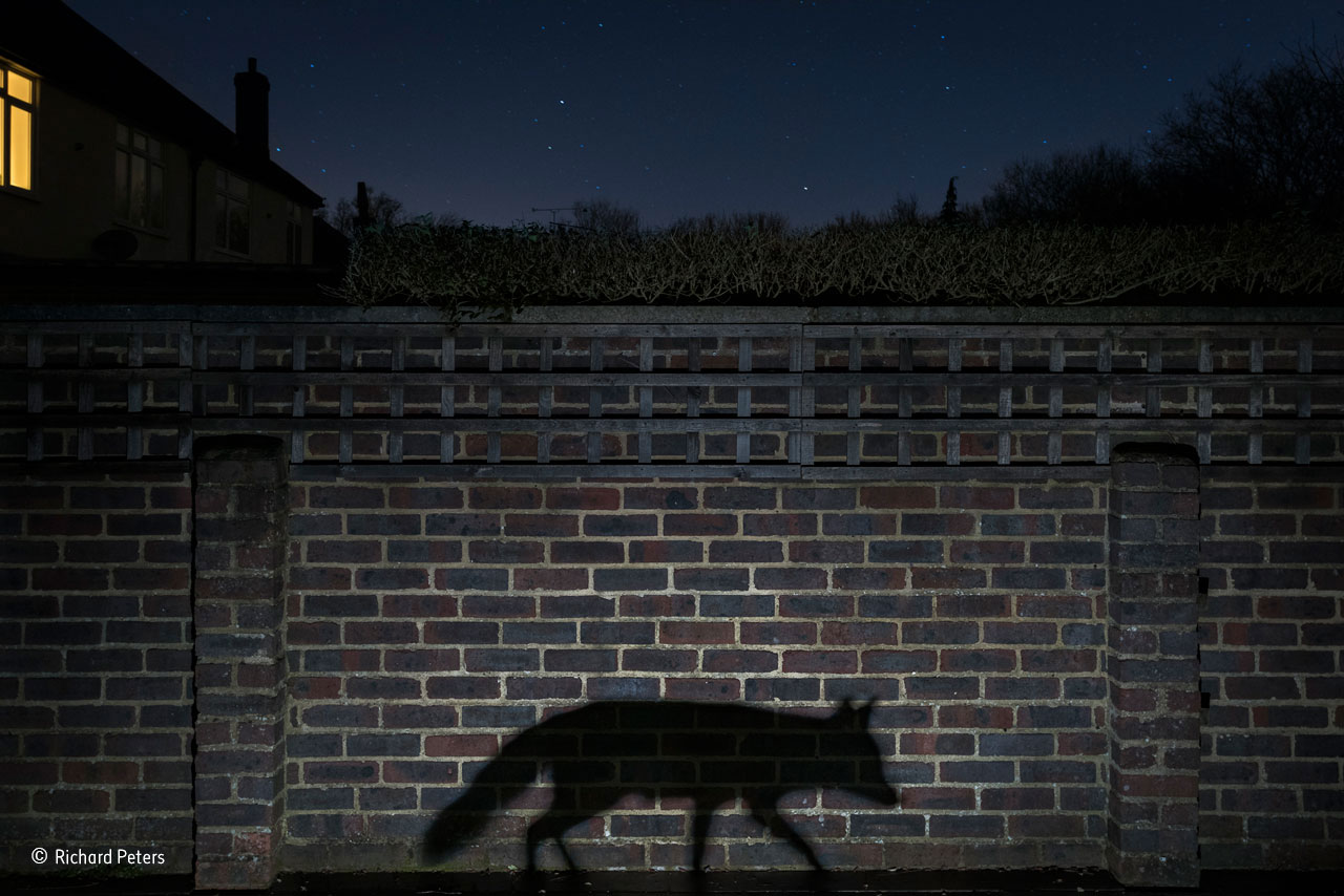 "Urban: ""Shadow walker"". Foto: Richard Peters, Storbritannien.""A snatched glimpse or a movement in the shadows is how most people see an urban fox, and few know when and where it goes on its nightly rounds. It was that sense of living in the shadows that Richard wanted to convey. He had been photographing nocturnal wildlife in his back garden in Surrey, England, for several months before he had the idea for the image, given to him by the fox when it walked through the beam of a torch he had set up, casting its profile on the side of his shed. But taking the shot proved to be surprisingly difficult. It required placing the tripod where he could capture both the cityscape night sky and the fox silhouette, a ground-level flash for a defined shadow, a long exposure for the stars, a moonless night to cut down on the ambient light and, of course, the fox to walk between the camera and the wall at the right distance to give the perfect shadow. On the evening of this shot, the neighbours switched on a light just before the vixen arrived, unaware of her presence but adding to the image."""