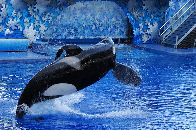 Späckhuggaren Tilikum, som dokumentären Blackfish handlar om. Foto: Loadmaster (David R. Tribble). Licensierad under CC BY-SA 3.0 via Commons - https://commons.wikimedia.org/wiki/File:Seaworld-Orlando-Shamu-1530.jpg#/media/File:Seaworld-Orlando-Shamu-1530.jpg