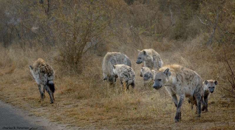 Flock med fläckig hyena, Sydafrika. Foto: Charles (Chuck) Peterson via Flickr https://www.flickr.com/photos/petechar/