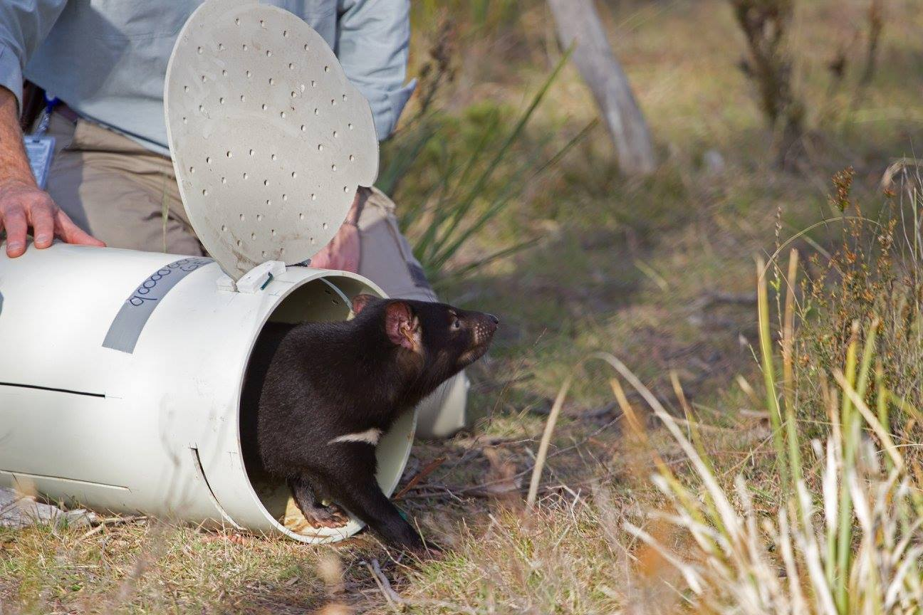 Tasmansk djävul som släpps ut i det fria. Foto: Save the Tasmanian Devil Program
