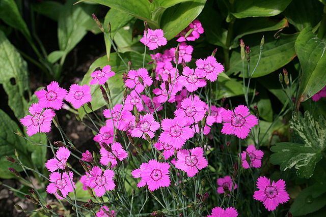 Backnejlika. Foto: Jean-Pol GRANDMONT. Licensierad under CC BY 3.0 via Wikimedia Commons. https://commons.wikimedia.org/wiki/File:0_Dianthus_deltoides_alpinus_-_Yvoire.JPG#/media/File:0_Dianthus_deltoides_alpinus_-_Yvoire.JPG