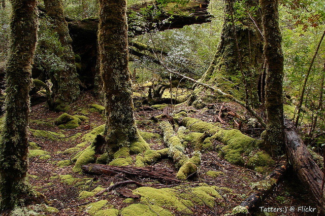 Skog i Tasmanien. Foto: Tatters via Flickr https://www.flickr.com/photos/tgerus/