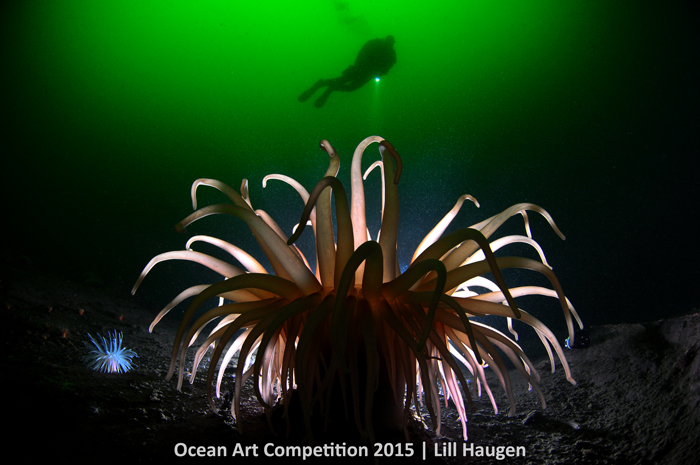 """Anemone Light,"" The Oslo Fjord, NorwayOcean Art Competition 2015/Lill Haugen 1st Place, Cold Water: ""The 'Deeplet sea anemone'/North sea anemone (Bolocera tuediae) can be found in the cold, green waters of the Oslo fjord in Norway, at depths from 25 meters and below -- like an oasis in the mud. A certain species of red shrimps (Spirontocarus liljeborgi) can be found seeking shelter under this type of large cold water anemone. This anemone is backlit, by placing the strobe behind the anemone and using a remote slave sensor trigger to fire the strobe."" - Lill Haugen"