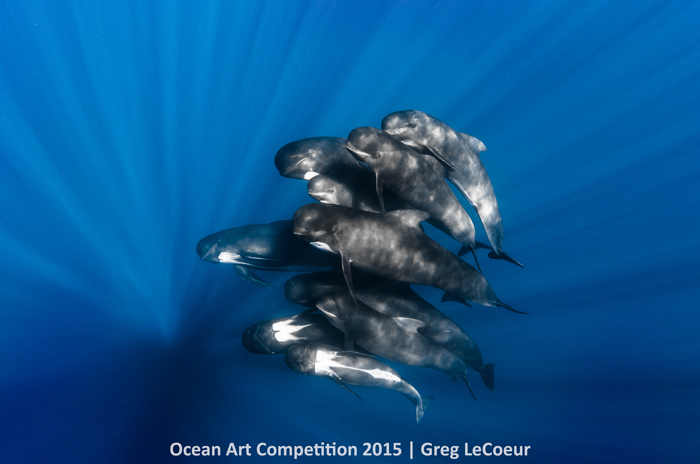 """Pilot Whales,"" Nice, FranceOcean Art Competition 2015/Greg LeCoeur 1st Place, Portrait: ""During a sailing day off the shore of the Mediterranean Sea, I spotted a big pod of Pilot whales that accepted me in the blue water. They were turning around me in the crystal blue water. It was an amazing experience and a great opportunity to photograph them."" -- Greg LeCoeur"
