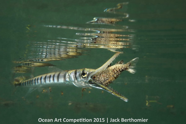 """Fast strike of a Tylosorus crocodilus on a juvenile kyphosus vaigiensis,"" Ouemo Bay, Noumea, New CaledoniaOcean Art Competition 2015/Jack Berthomier 1st Place, Compact Marine Life Behavior: ""The picture has been taken in Ouemo's Mangrove where I take 90% of my pictures and where I dive, always in free diving.This Tylosorus crocodulis was 20-25 centimeters long. The fish got used to me by swimming with him for multiple hours and days."" -- Jack Berthomier"