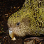 Kakapo. Foto: By Mnolf - Photo taken on Codfish Island (Whenua Hou), New Zealand, CC BY-SA 3.0, https://commons.wikimedia.org/w/index.php?curid=695580