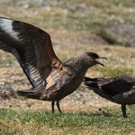 Antarktislabb. Foto: Liam Quinn from Canada - Brown Skuas, CC BY-SA 2.0, https://commons.wikimedia.org/w/index.php?curid=24446539