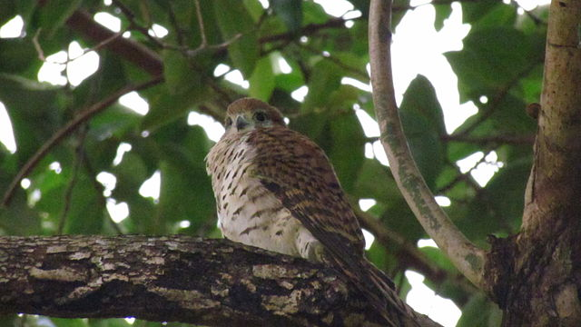 Mauritiusfalk. Foto: Josh Noseworthy - Mauritius Kestrel, CC BY 2.0, https://commons.wikimedia.org/w/index.php?curid=36538553